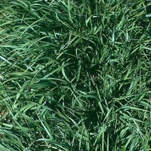 cesped bahia grass paspalum notatum